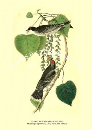 TYRANT FLYCATCHER - KING BIRD - Muscicapa Tyrannus, Linn, Male And Female